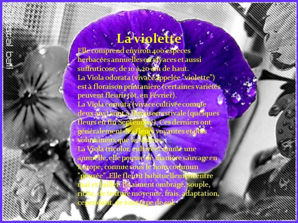 La violette Elle comprend environ 400 espèces herbacées annuelles ou vivaces et aussi suffruticose, de 10 à 20 cm de haut.
