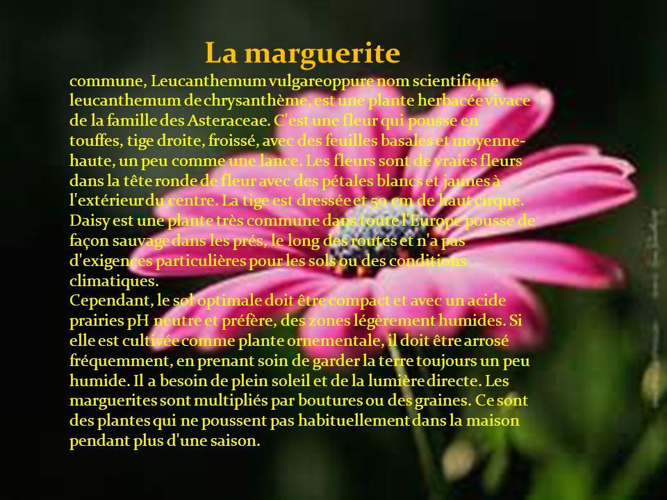 La marguerite commune, Leucanthemum vulgareoppure nom scientifique leucanthemum de chrysanthème, est une plante herbacée vivace de la famille des Asteraceae.