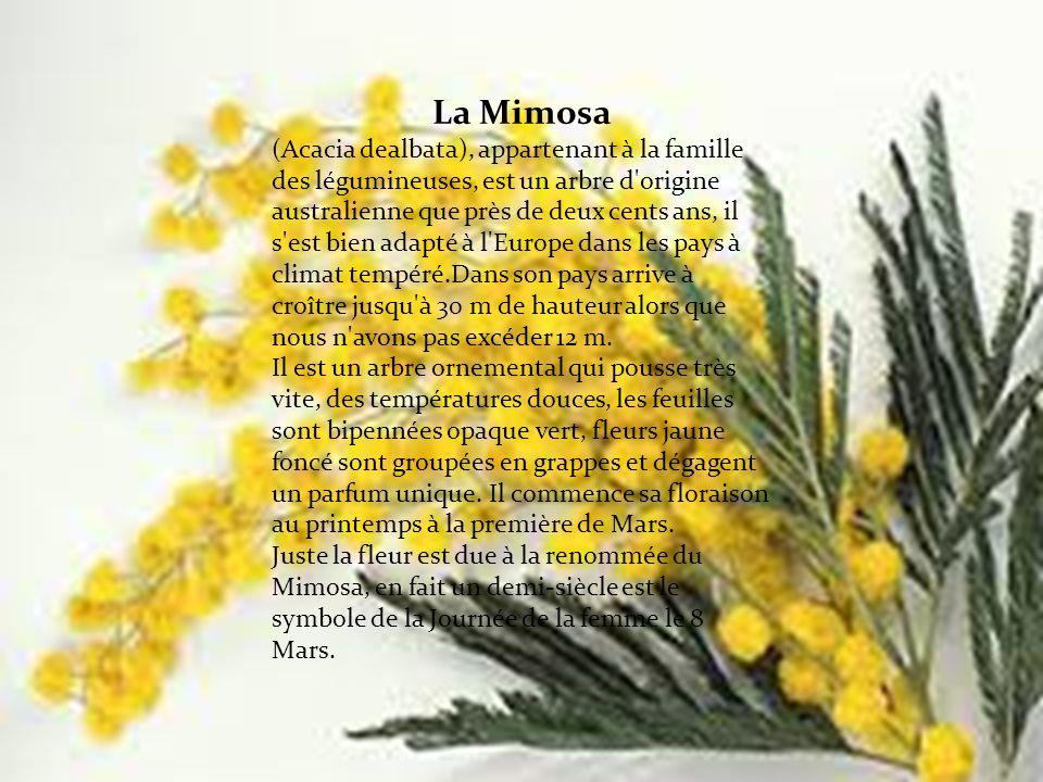 La Mimosa (Acacia dealbata), appartenant à la famille des légumineuses, est un arbre d origine australienne que près de deux cents ans, il s est bien adapté à l Europe dans les pays à climat tempéré.Dans son pays arrive à croître jusqu à 30 m de hauteur alors que nous n avons pas excéder 12 m.