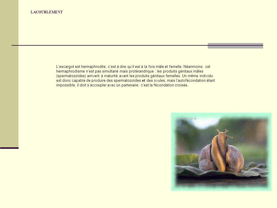 LACOUBLEMENT Lescargot est hermaphrodite, c est à dire qu il est à la fois mâle et femelle.