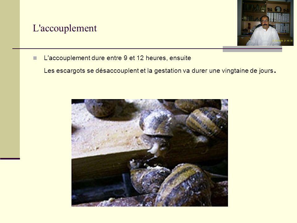 L accouplement L accouplement dure entre 9 et 12 heures, ensuite Les escargots se désaccouplent et la gestation va durer une vingtaine de jours.