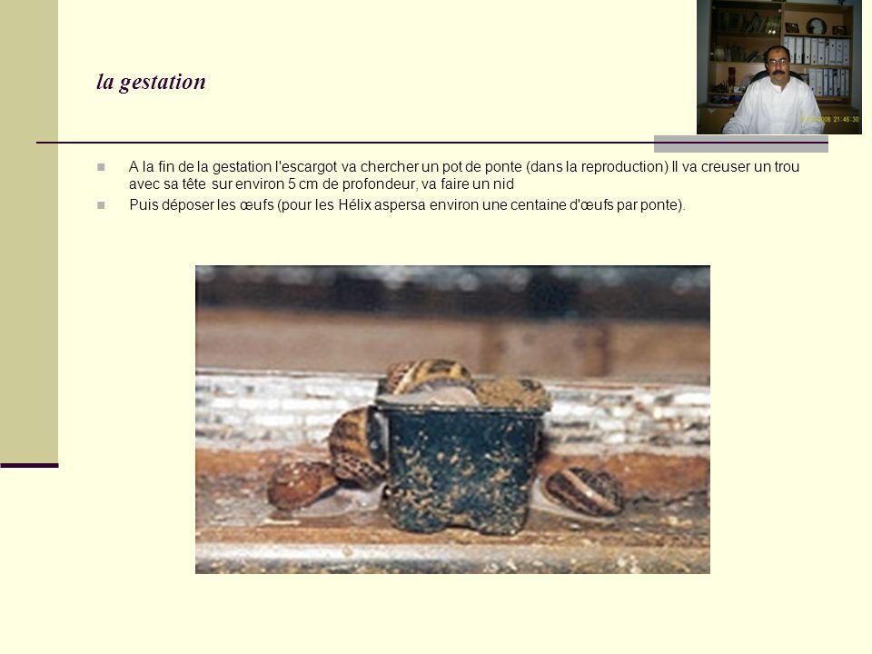 la gestation A la fin de la gestation l escargot va chercher un pot de ponte (dans la reproduction) Il va creuser un trou avec sa tête sur environ 5 cm de profondeur, va faire un nid Puis déposer les œufs (pour les Hélix aspersa environ une centaine d œufs par ponte).