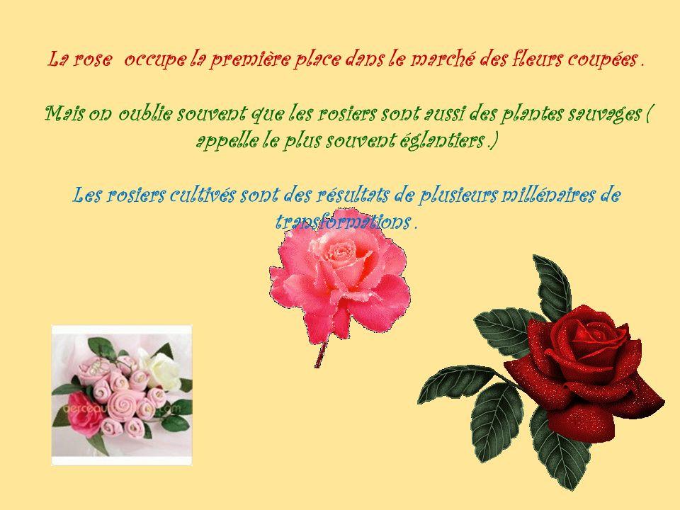 La rose occupe la première place dans le marché des fleurs coupées.