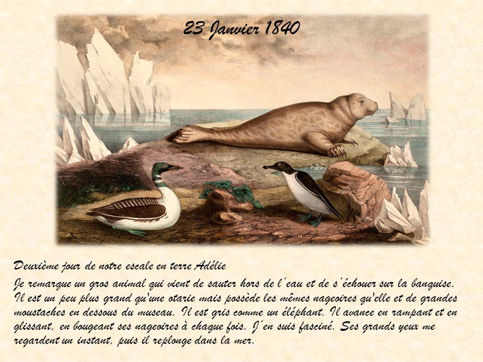 23 Janvier 1840 Deuxième jour de notre escale en terre Adélie Je remarque un gros animal qui vient de sauter hors de leau et de séchouer sur la banqui
