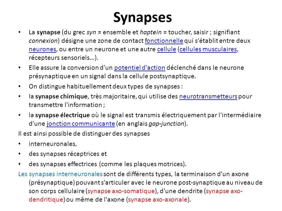 Synapses La synapse (du grec syn = ensemble et haptein = toucher, saisir ; signifiant connexion) désigne une zone de contact fonctionnelle qui s'établ