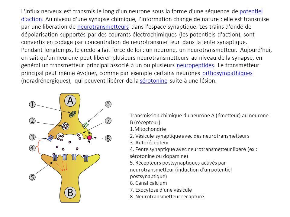 L'influx nerveux est transmis le long d'un neurone sous la forme d'une séquence de potentiel d'action. Au niveau d'une synapse chimique, l'information
