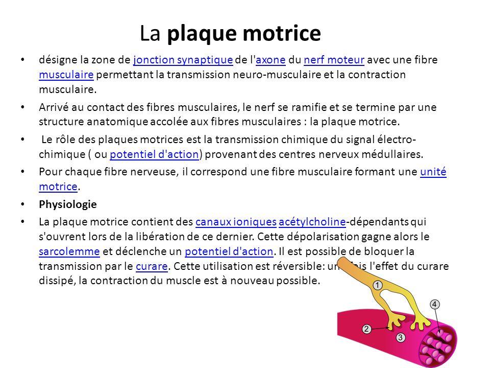La plaque motrice désigne la zone de jonction synaptique de l'axone du nerf moteur avec une fibre musculaire permettant la transmission neuro-musculai