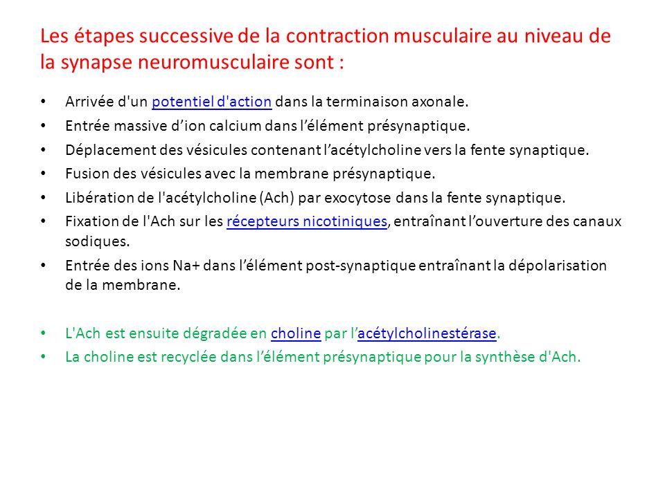 Les étapes successive de la contraction musculaire au niveau de la synapse neuromusculaire sont : Arrivée d'un potentiel d'action dans la terminaison