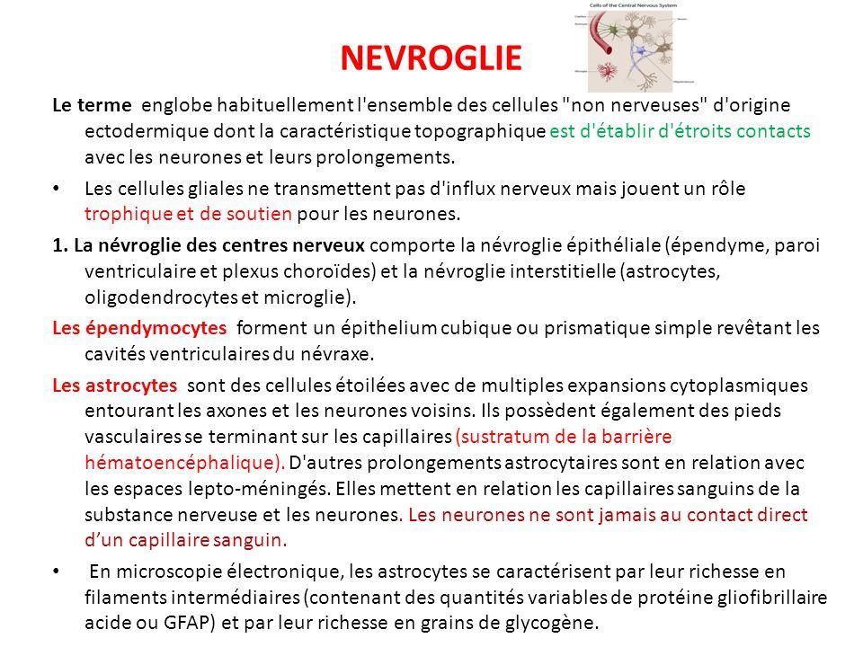 NEVROGLIE Le terme englobe habituellement l'ensemble des cellules