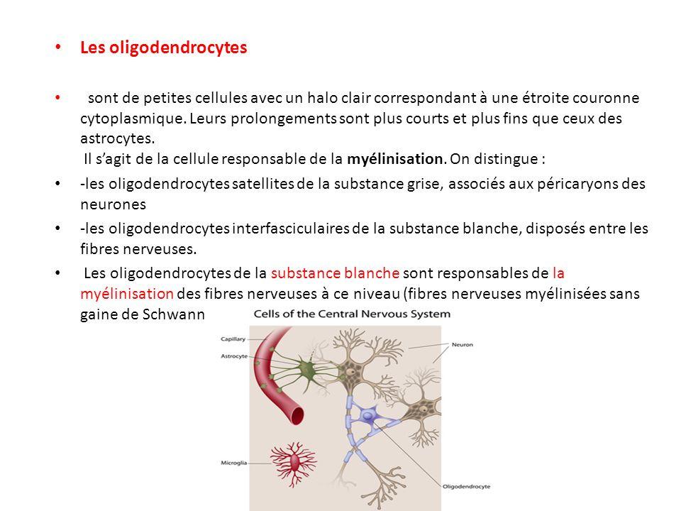 Les oligodendrocytes sont de petites cellules avec un halo clair correspondant à une étroite couronne cytoplasmique. Leurs prolongements sont plus cou