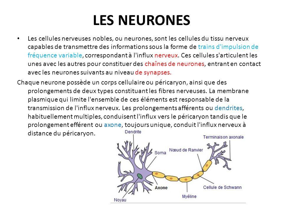 LES NEURONES Les cellules nerveuses nobles, ou neurones, sont les cellules du tissu nerveux capables de transmettre des informations sous la forme de