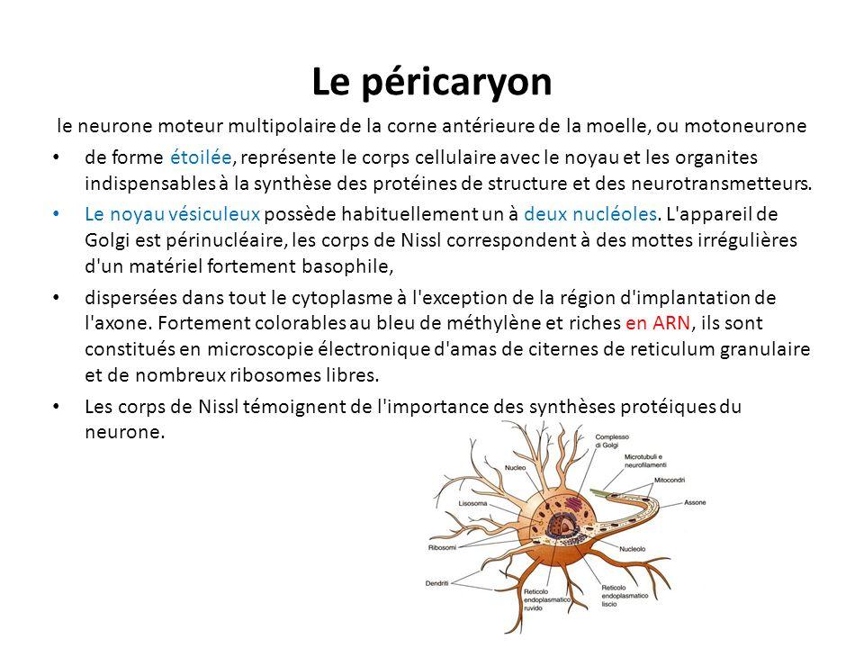 Le péricaryon le neurone moteur multipolaire de la corne antérieure de la moelle, ou motoneurone de forme étoilée, représente le corps cellulaire avec