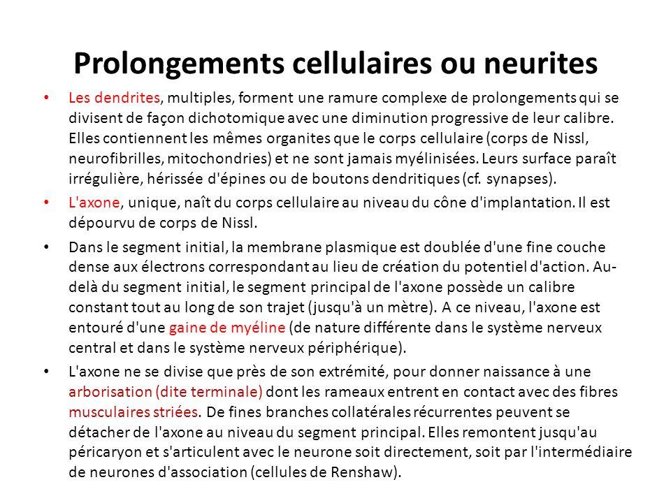 Prolongements cellulaires ou neurites Les dendrites, multiples, forment une ramure complexe de prolongements qui se divisent de façon dichotomique ave