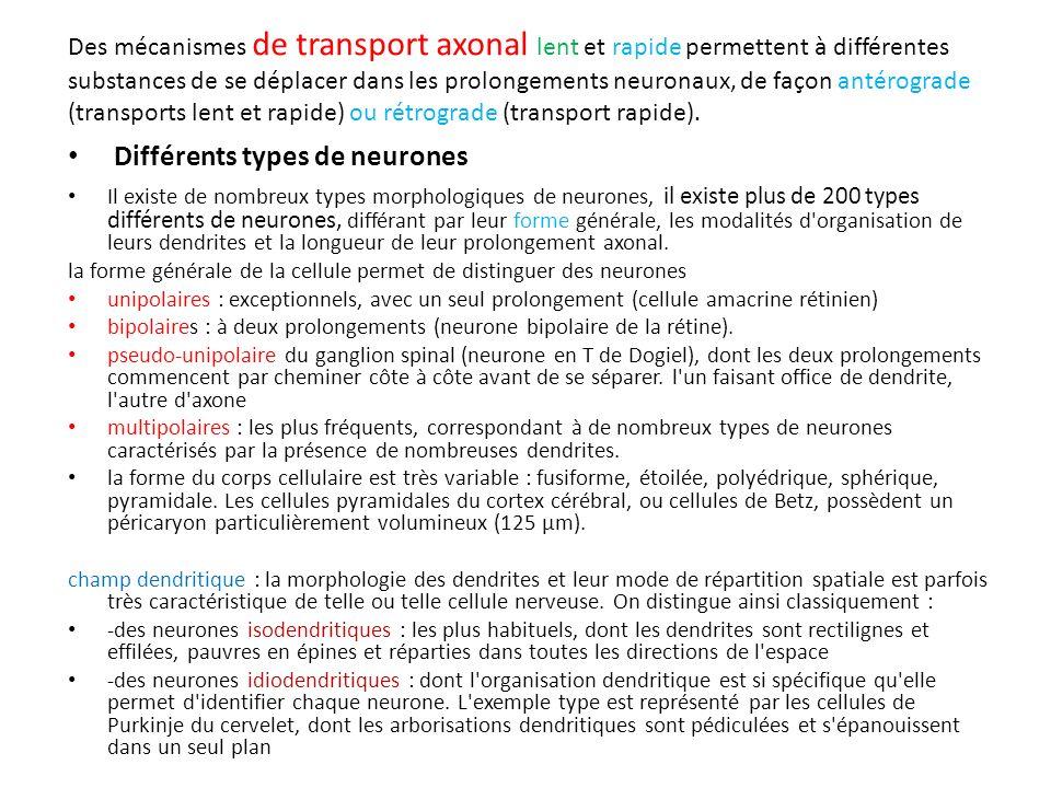Des mécanismes de transport axonal lent et rapide permettent à différentes substances de se déplacer dans les prolongements neuronaux, de façon antéro