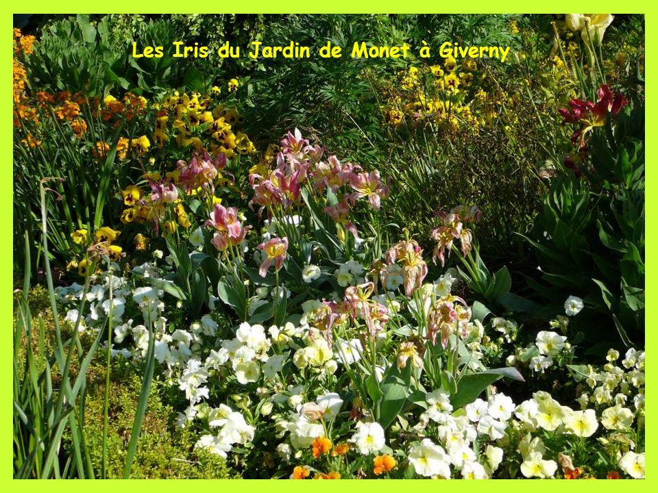 Les Iris du Jardin de Monet à Giverny
