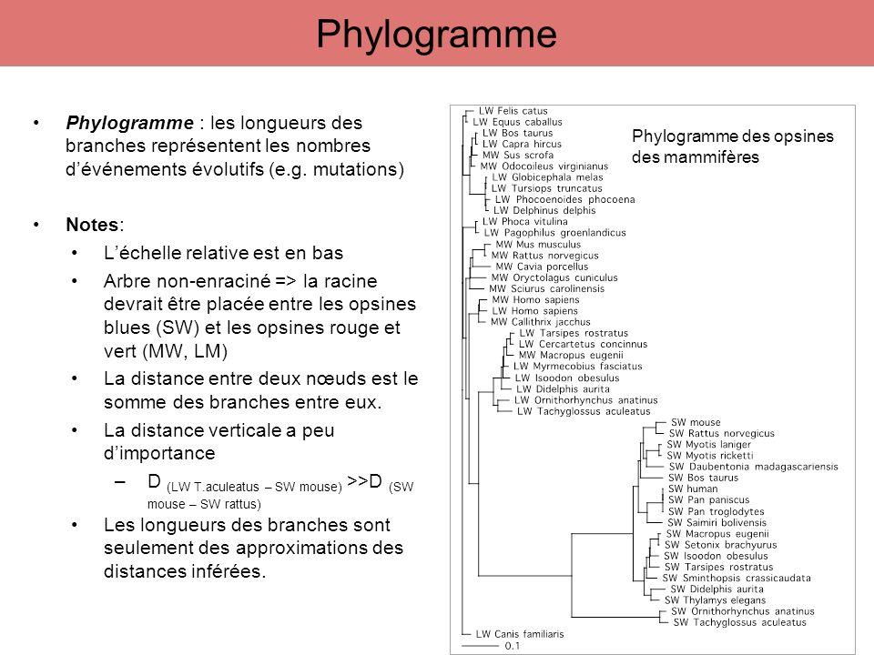 Phylogramme : les longueurs des branches représentent les nombres dévénements évolutifs (e.g. mutations) Notes: Léchelle relative est en bas Arbre non