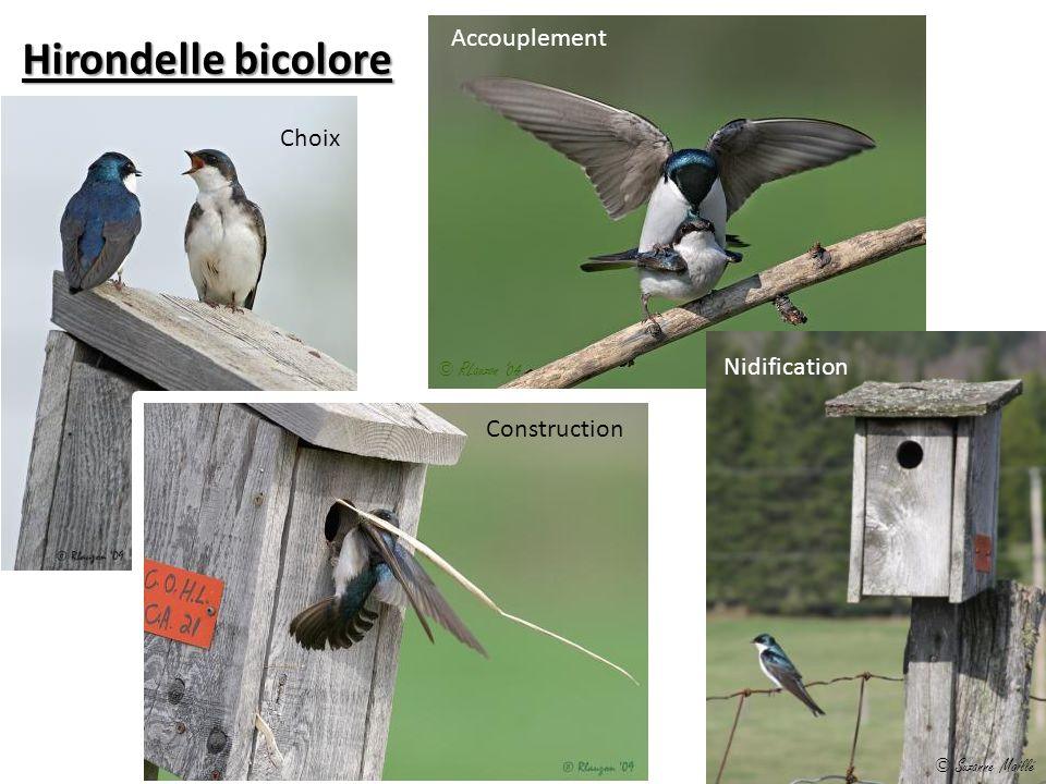 Choix Accouplement Construction Hirondelle bicolore Nidification © Suzanne Maillé © RLauzon 04