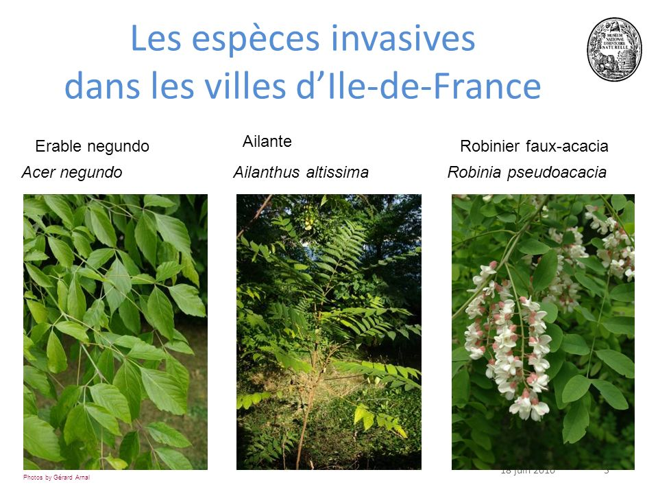 318 juin 2010 Acer negundo Ailanthus altissima Robinia pseudoacacia Photos by Gérard Arnal Les espèces invasives dans les villes dIle-de-France Erable