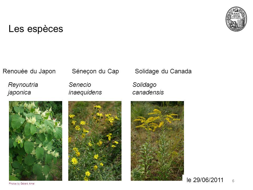 618 juin 2010 Les espèces Photos by Gérard Arnal Reynoutria japonica Senecio inaequidens Solidago canadensis le 29/06/2011 Renouée du JaponSéneçon du