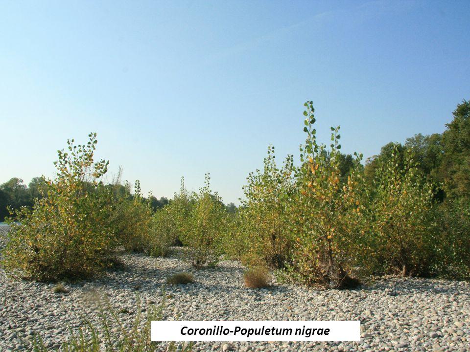 Coronillo-Populetum nigrae