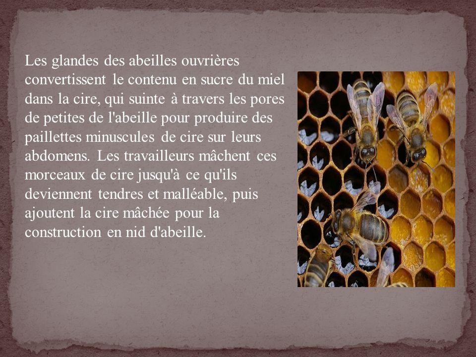 Les glandes des abeilles ouvrières convertissent le contenu en sucre du miel dans la cire, qui suinte à travers les pores de petites de l'abeille pour