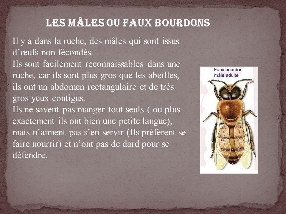 LES MÂLES ou FAUX BOURDONS Il y a dans la ruche, des mâles qui sont issus dœufs non fécondés. Ils sont facilement reconnaissables dans une ruche, car