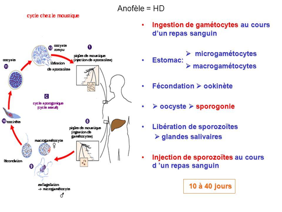 Ingestion de gamétocytes au cours dun repas sanguinIngestion de gamétocytes au cours dun repas sanguin microgamétocytes microgamétocytes Estomac:Estomac: macrogamétocytes macrogamétocytes Fécondation ookinèteFécondation ookinète oocyste sporogonie oocyste sporogonie Libération de sporozoïtesLibération de sporozoïtes glandes salivaires glandes salivaires Injection de sporozoïtes au cours d un repas sanguinInjection de sporozoïtes au cours d un repas sanguin 10 à 40 jours Anofèle = HD