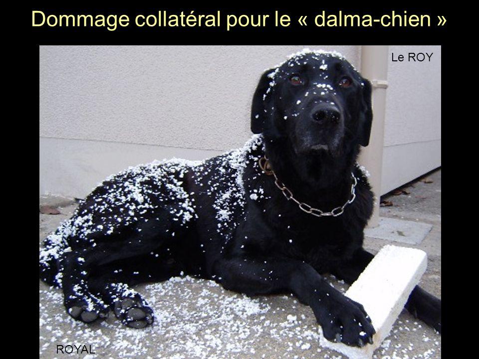 Dommage collatéral pour le « dalma-chien » ROYAL Le ROY