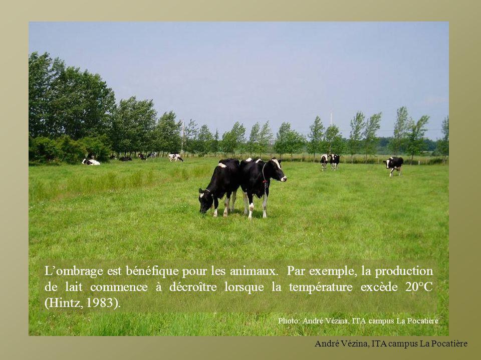 André Vézina, ITA campus La Pocatière Lombrage est bénéfique pour les animaux. Par exemple, la production de lait commence à décroître lorsque la temp