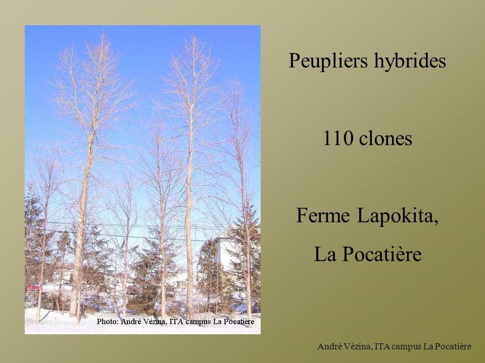 André Vézina, ITA campus La Pocatière Peupliers hybrides 110 clones Ferme Lapokita, La Pocatière