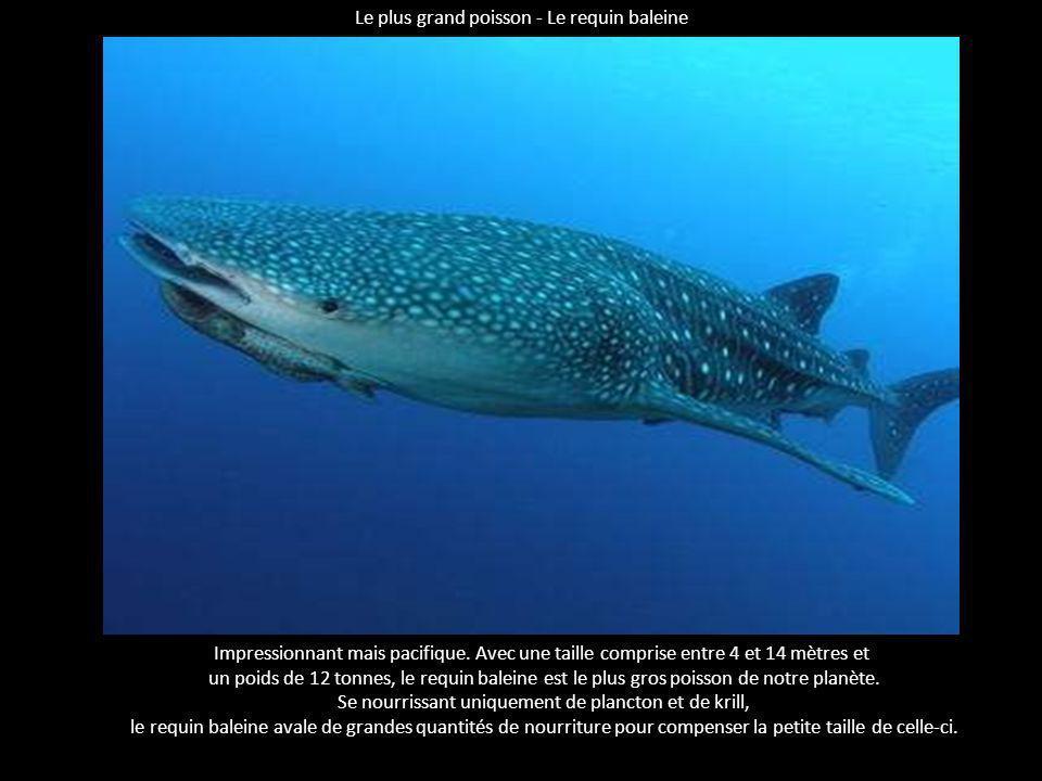 Lorque le mammifère marin le plus rapide Appelée également épaulard, l'orque est, malgré une taille et un poids des plus impressionnants, le mammifère