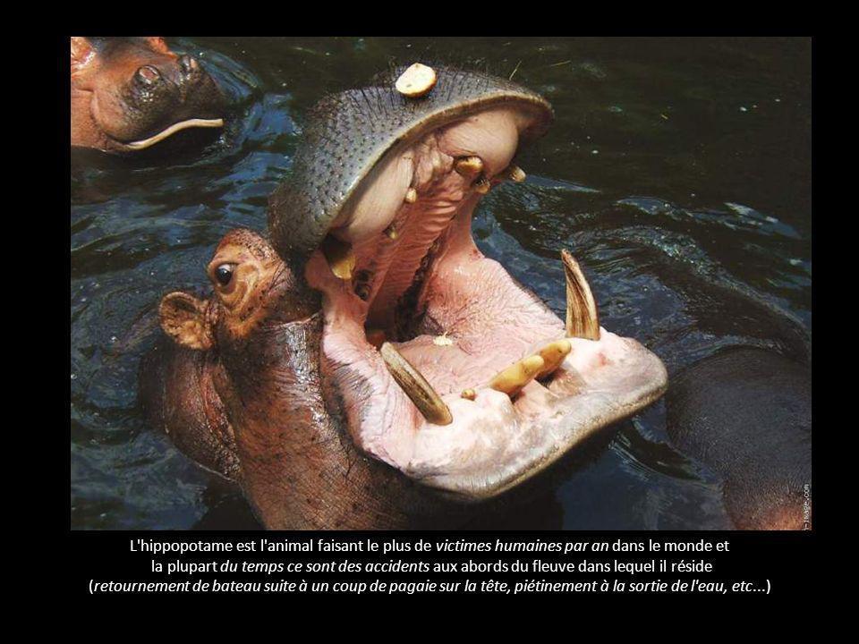 L hippopotame - l animal le plus dangereux pour l homme L hippopotame est l animal faisant le plus de victimes humaines par an dans le monde et la plupart du temps ce sont des accidents aux abords du fleuve dans lequel il réside (retournement de bateau suite à un coup de pagaie sur la tête, piétinement à la sortie de l eau, etc...)