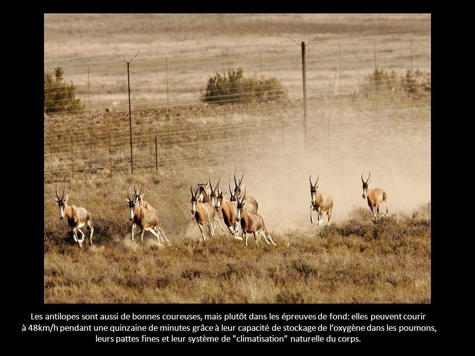 Les antilopes sont aussi de bonnes coureuses, mais plutôt dans les épreuves de fond: elles peuvent courir à 48km/h pendant une quinzaine de minutes grâce à leur capacité de stockage de loxygène dans les poumons, leurs pattes fines et leur système de climatisation naturelle du corps.