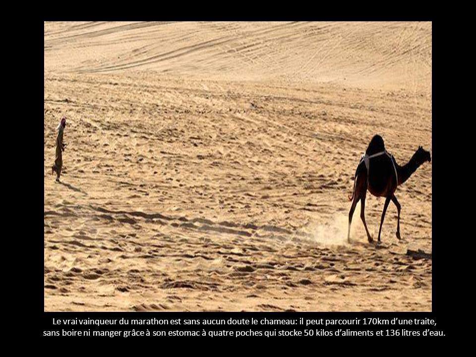 Le vrai vainqueur du marathon est sans aucun doute le chameau: il peut parcourir 170km dune traite, sans boire ni manger grâce à son estomac à quatre poches qui stocke 50 kilos daliments et 136 litres deau.