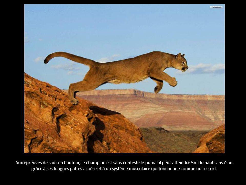 Aux épreuves de saut en hauteur, le champion est sans conteste le puma: il peut atteindre 5m de haut sans élan grâce à ses longues pattes arrière et à un système musculaire qui fonctionne comme un ressort.