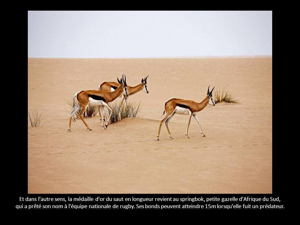 Et dans l autre sens, la médaille d or du saut en longueur revient au springbok, petite gazelle d Afrique du Sud, qui a prêté son nom à l équipe nationale de rugby.