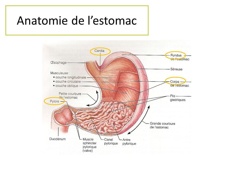 Anatomie de lestomac