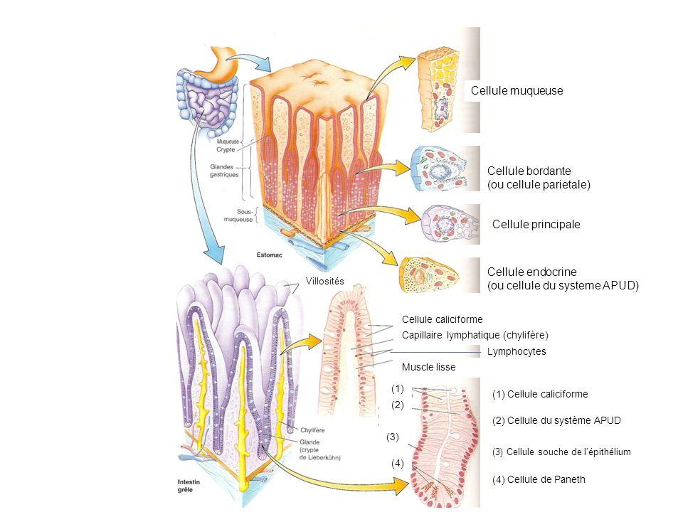 Cellule muqueuse Cellule bordante (ou cellule parietale) Cellule principale Cellule endocrine (ou cellule du systeme APUD) Cellule caliciforme Capilla