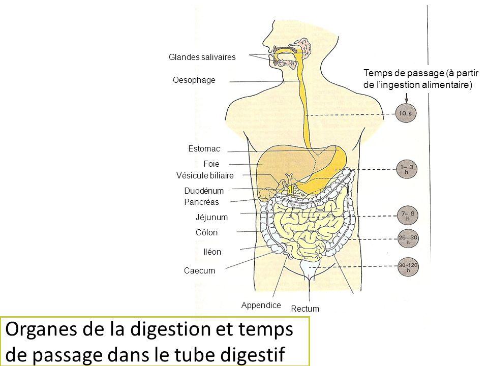 Organes de la digestion et temps de passage dans le tube digestif Glandes salivaires Oesophage Estomac Rectum Vésicule biliaire Duodénum Pancréas Jéju