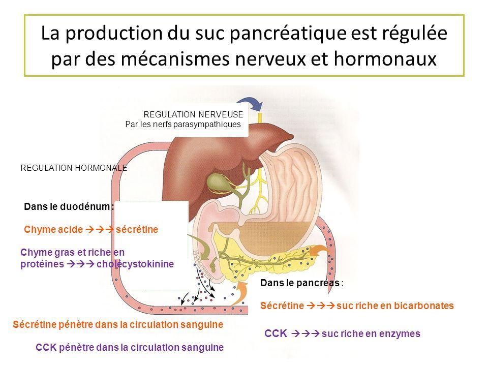 La production du suc pancréatique est régulée par des mécanismes nerveux et hormonaux REGULATION NERVEUSE Par les nerfs parasympathiques REGULATION HO