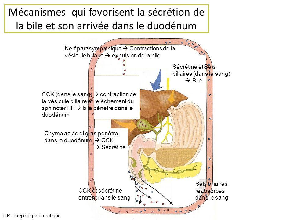 Mécanismes qui favorisent la sécrétion de la bile et son arrivée dans le duodénum Chyme acide et gras pénètre dans le duodénum CCK Sécrétine CCK et sé