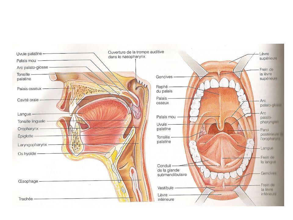 Digestion des glucides et absorption des monosaccharides