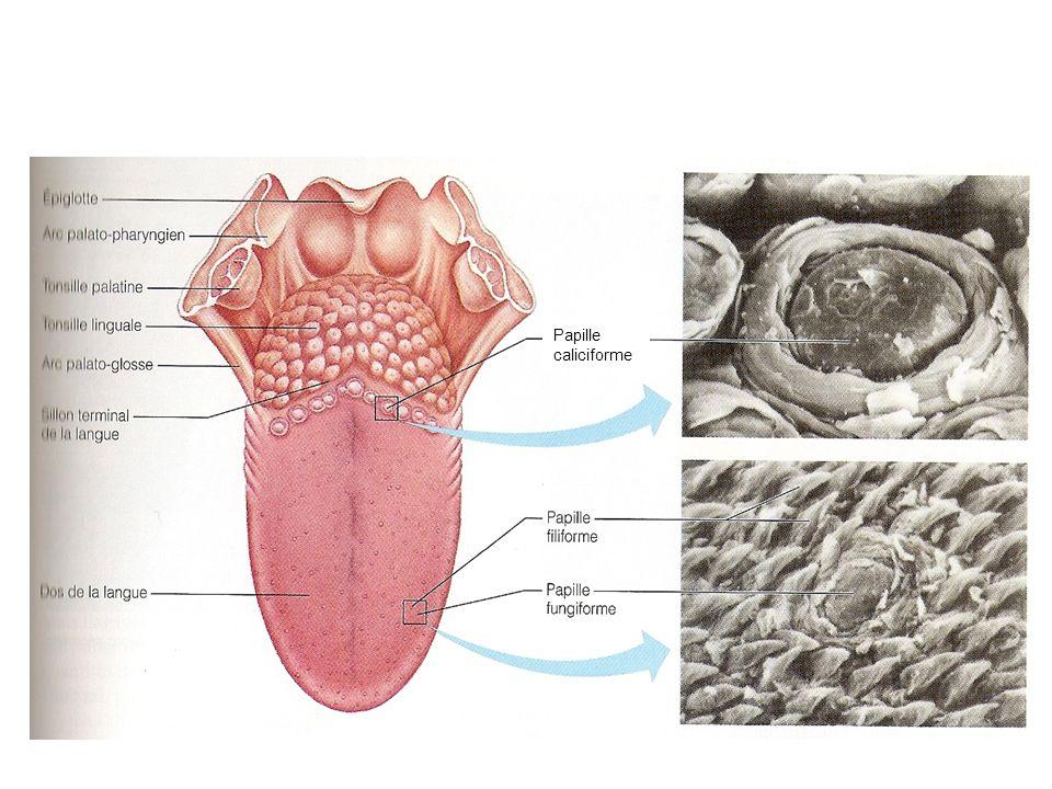 Entérocyte Cellule souche de lépithelium Cellule caliciforme Cellule endocrine du tube digestive (cellule du système APUD) Crypte de Lieberkühn Le gros intestin