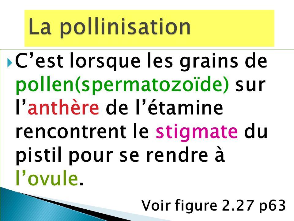 Cest lorsque les grains de pollen(spermatozoïde) sur lanthère de létamine rencontrent le stigmate du pistil pour se rendre à lovule. Voir figure 2.27