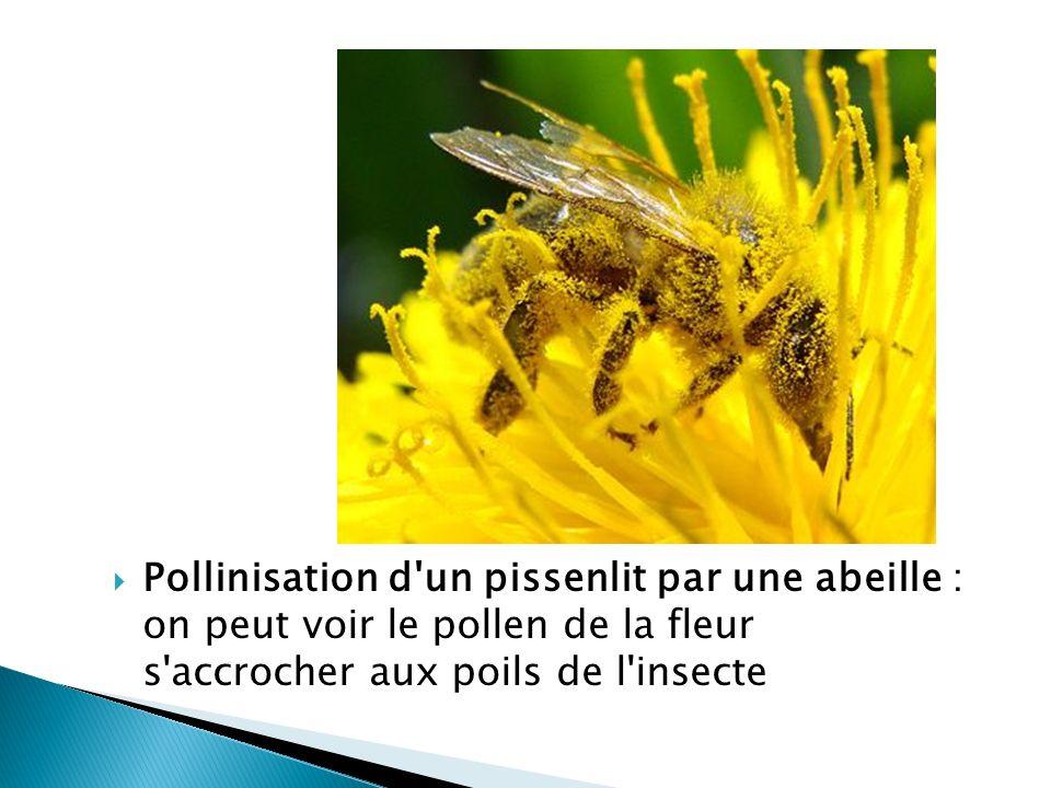 Pollinisation d'un pissenlit par une abeille : on peut voir le pollen de la fleur s'accrocher aux poils de l'insecte