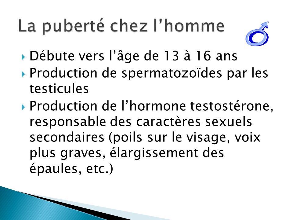 Débute vers lâge de 13 à 16 ans Production de spermatozoïdes par les testicules Production de lhormone testostérone, responsable des caractères sexuel