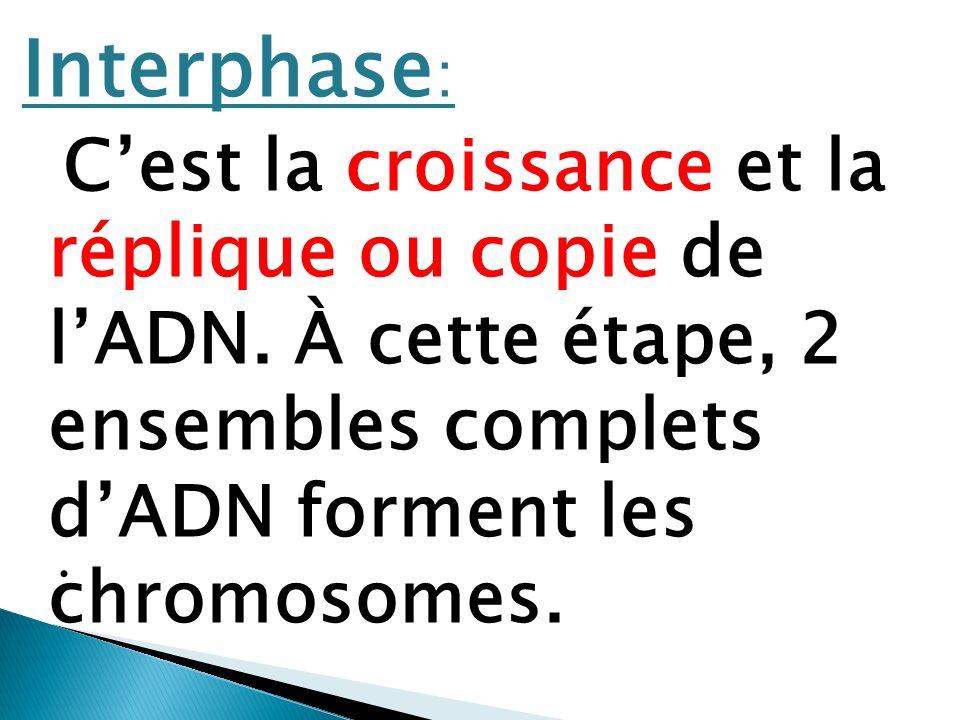 Interphase : Cest la croissance et la réplique ou copie de lADN. À cette étape, 2 ensembles complets dADN forment les chromosomes..