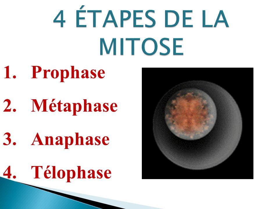 1.Prophase 2.Métaphase 3.Anaphase 4.Télophase