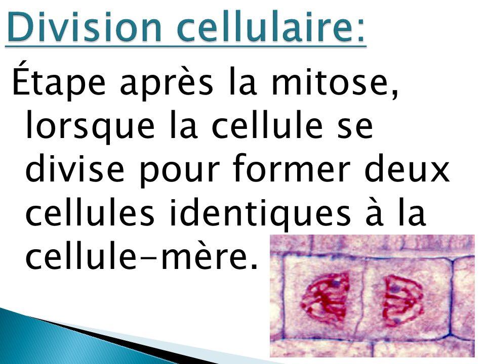 Étape après la mitose, lorsque la cellule se divise pour former deux cellules identiques à la cellule-mère.