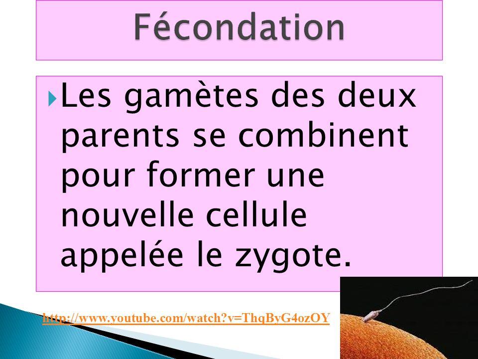 Les gamètes des deux parents se combinent pour former une nouvelle cellule appelée le zygote. http://www.youtube.com/watch?v=ThqByG4ozOY